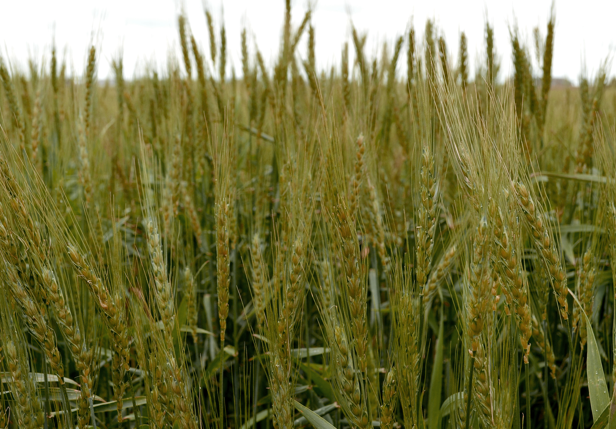 What Are The Different Types Of Wheat?