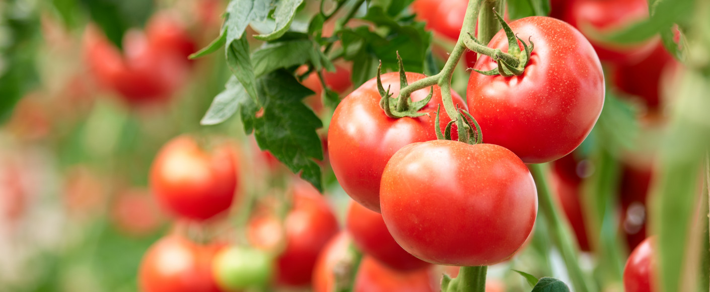 Five Tips For Growing Tomatoes At Home Kansas Farm Food Connection Eating Healthy From Farm To Table