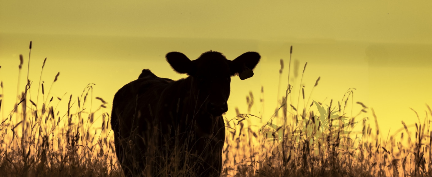 Heifer in wheat field at sunset