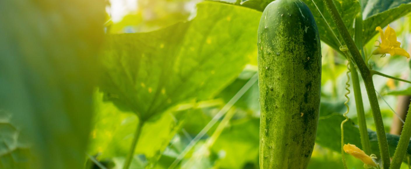 Garden ripe, fresh cucumbers