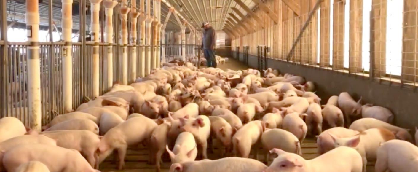 M&B Pork Farmers Pigs