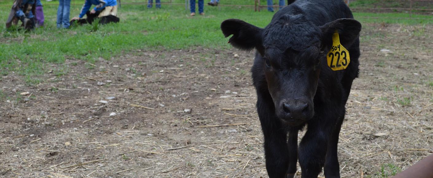 Antibiotics and Vaccines in Livestock