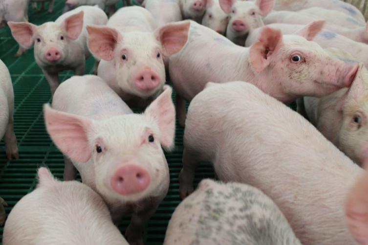 Pig diets