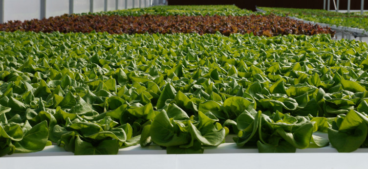 4B Farm Hydroponic lettuce in Kansas
