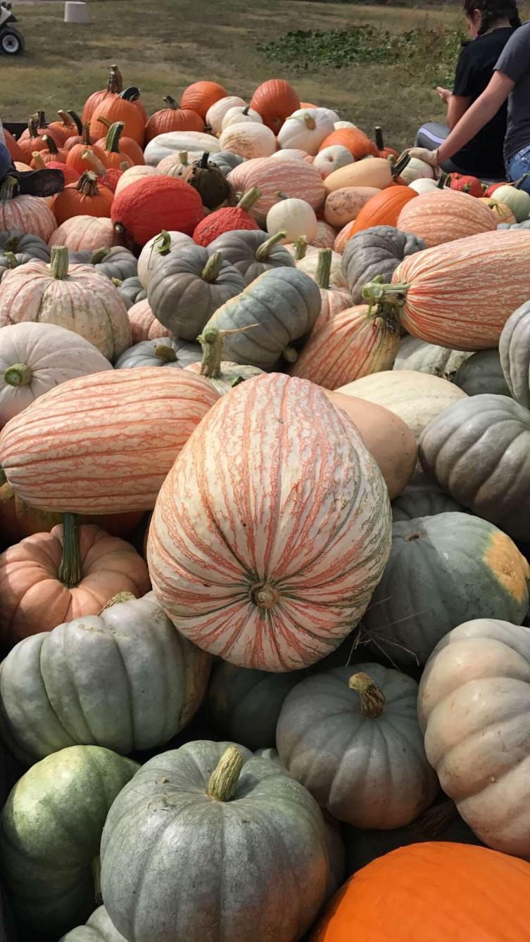 Decorative pumpkin patch in Kansas