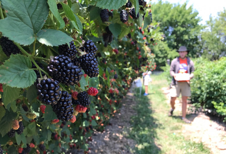 Elderslie Farm - You Pick Blackberries near Wichita