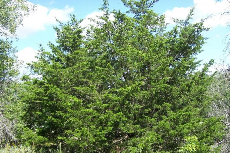 Invasive Eastern Red Cedar