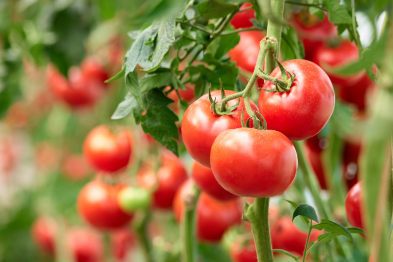 Five Tips For Growing Tomatoes At Home Kansas Farm Food