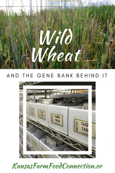 Gene bank for wild wheat