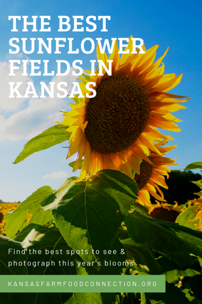 where sunflowers are in Kansas