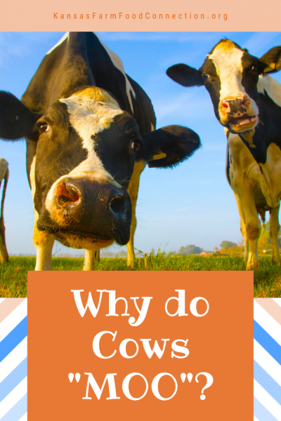 Why Cows Moo - Fun Farm Trivia