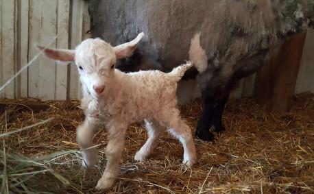 Baby Pygora goat at Rowantree Farm