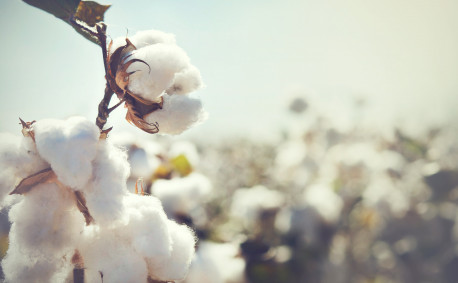 Cotton growing in field
