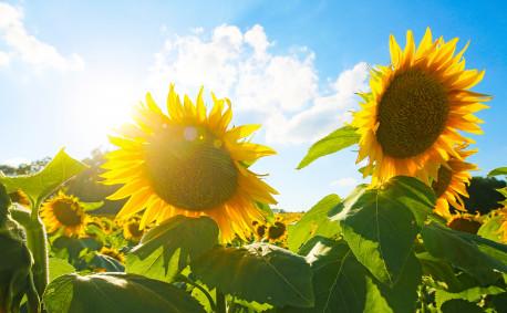 Kansas sunflower farms