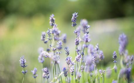 Lavender bloom in Kansas