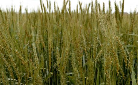 Kansas Wheat Varieties