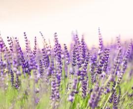 Kansas Lavender Harvest