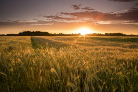 sunset and wheat